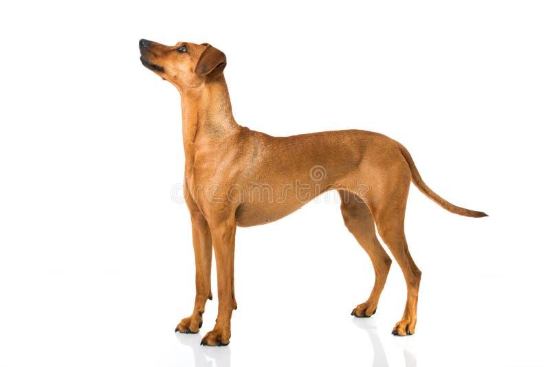Download Немецкая собака pinscher стоковое фото. изображение насчитывающей brougham - 41663438