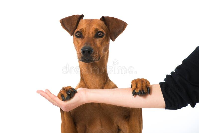 Download Немецкая собака pinscher стоковое фото. изображение насчитывающей brougham - 41663464