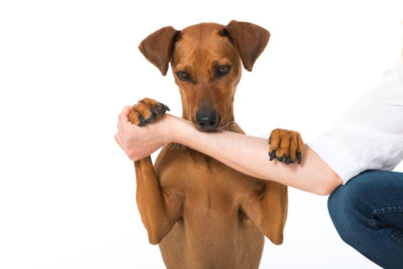 Download Немецкая собака pinscher стоковое изображение. изображение насчитывающей молодо - 41663505