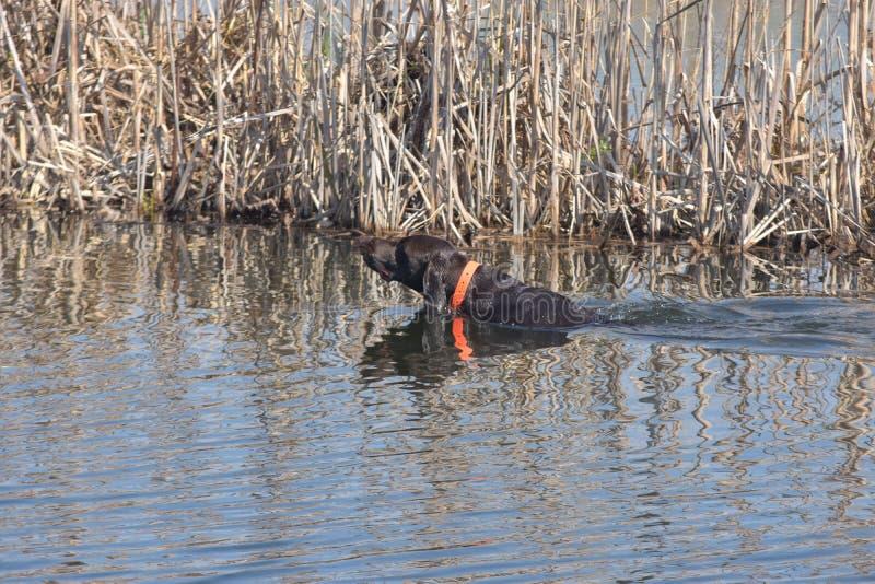 Немецкий заплыв shorthaired указателя к утке в реке стоковая фотография rf