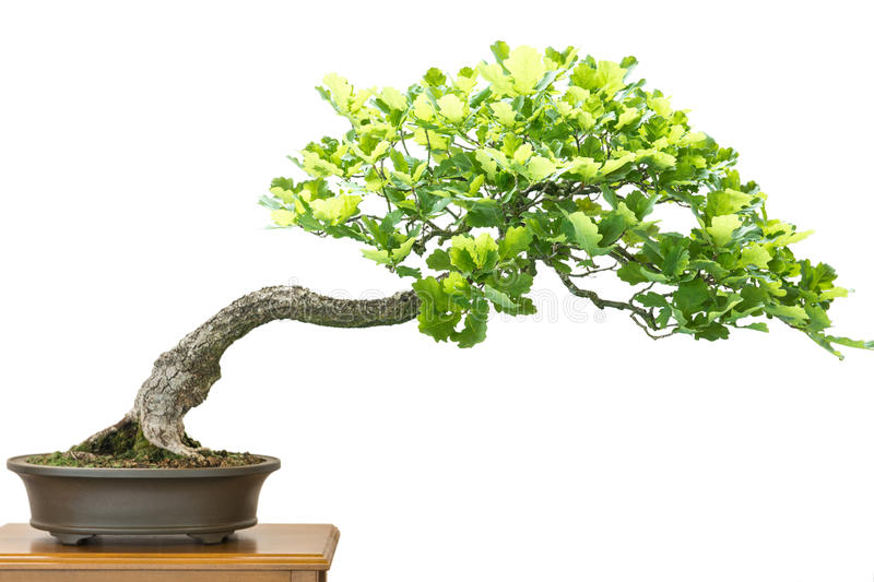Немецкий дуб (Quercus robur) как дерево бонзаев стоковая фотография