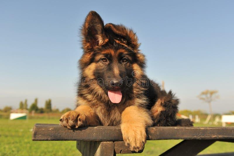 немецкий чабан щенка стоковая фотография rf