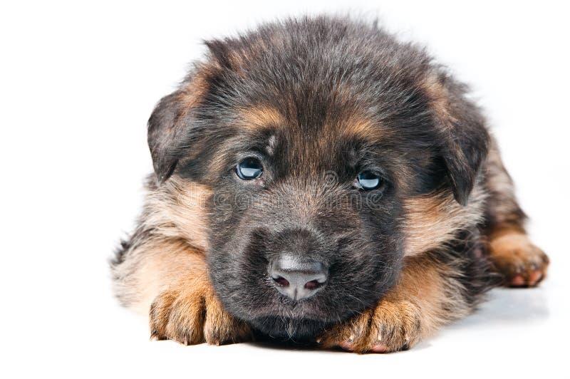 немецкий чабан щенка стоковое фото rf