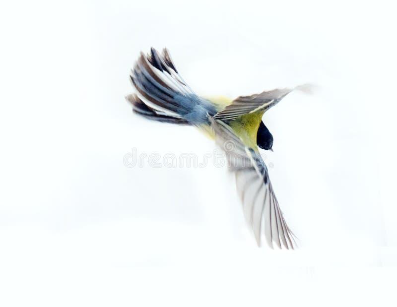 Немедленная фотография позволяет вам увидеть синицу oxeye большую балансера воздуха стоковое фото rf