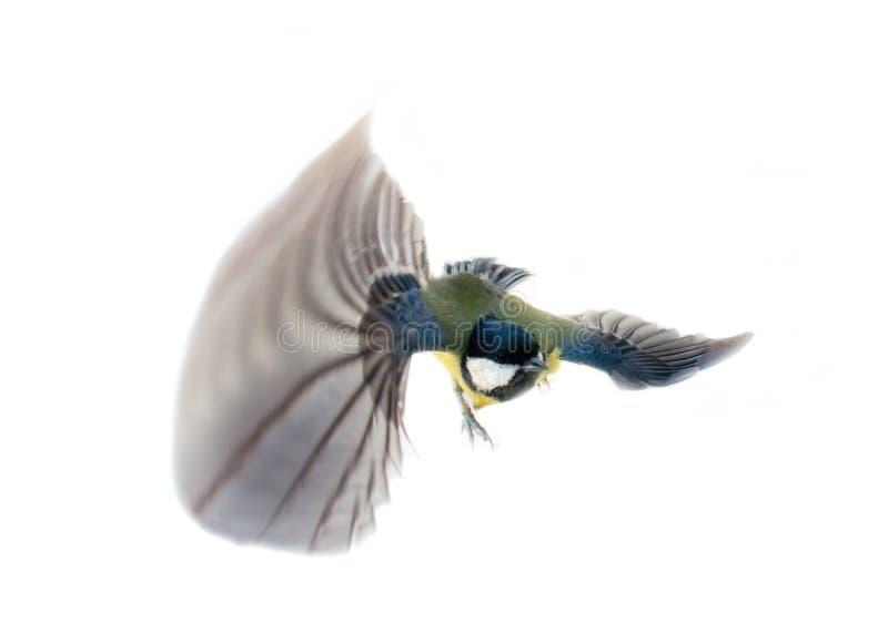 Немедленная фотография позволяет вам увидеть синицу oxeye большую балансера воздуха стоковое изображение rf