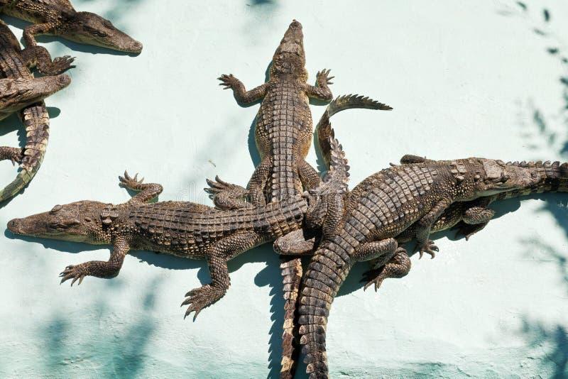 Немногие молодые крокодилы на ферме крокодила стоковое изображение rf