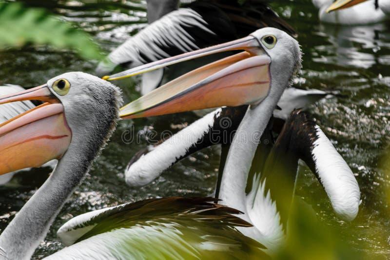 Немногие пеликаны плавая в бассейне на тропическом лесе в Бали, Индонезии стоковое изображение
