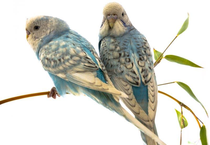 Немногое голубые волнистые попугаи на белой предпосылке стоковые фотографии rf