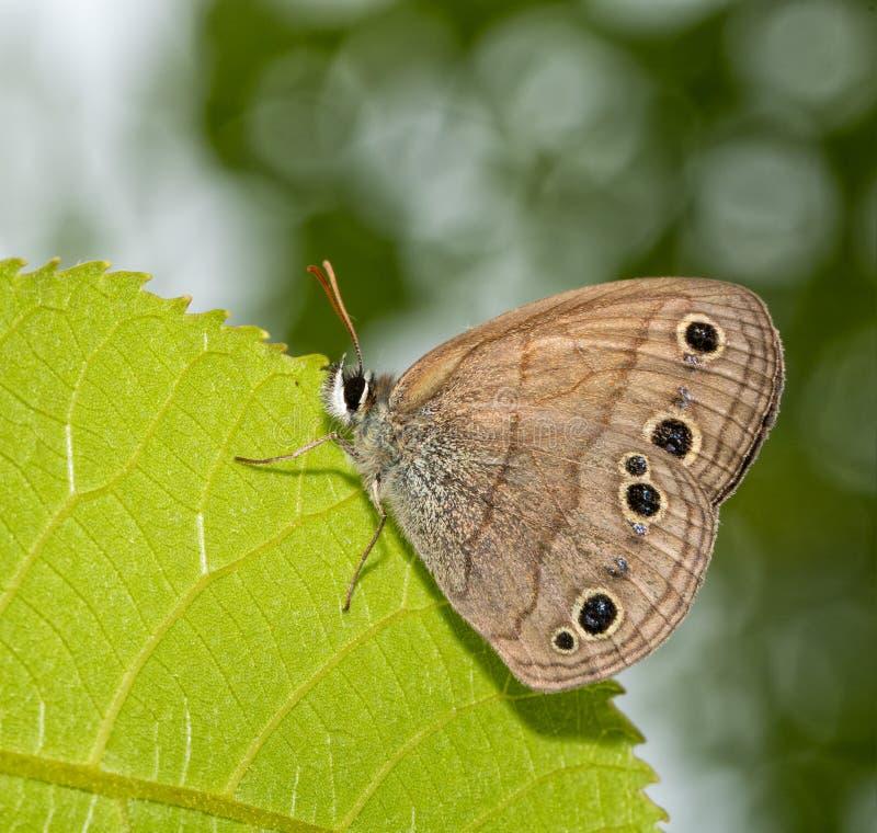 Немногое деревянная бабочка сатира отдыхая на лист стоковые фотографии rf