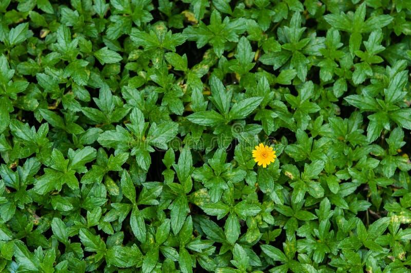 Немногое желтая маргаритка Сингапура - съемка цветка взгляда сверху стоковое изображение rf