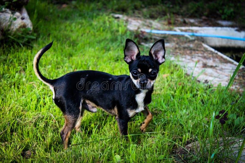 Немногое жизнерадостный ловкий черный красивый щенок чихуахуа стоковые фотографии rf