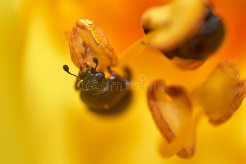 Немногое жук вползая на пестике цветка стоковые изображения rf