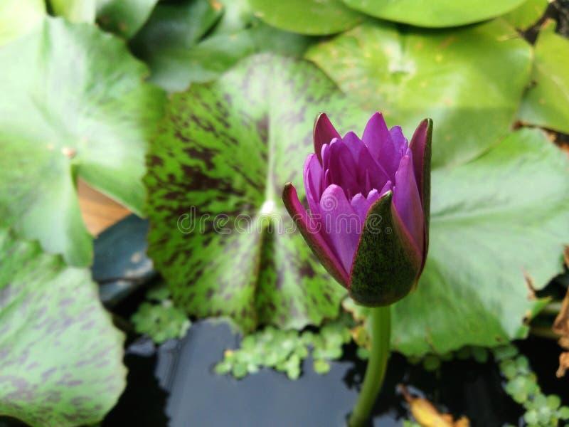 Немногое зацветая пурпурный цветок лотоса в пруде стоковые фотографии rf