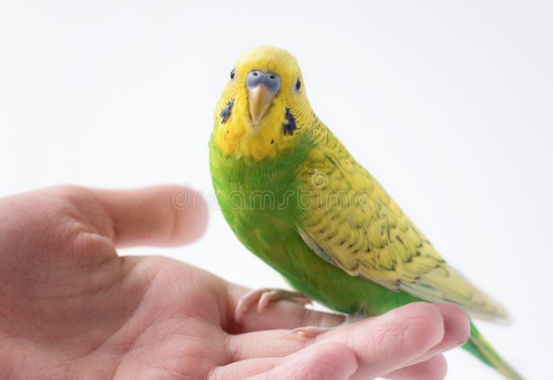 Немногое зеленый длиннохвостый попугай сидя на руке Милый маленький попугай стоковые изображения rf