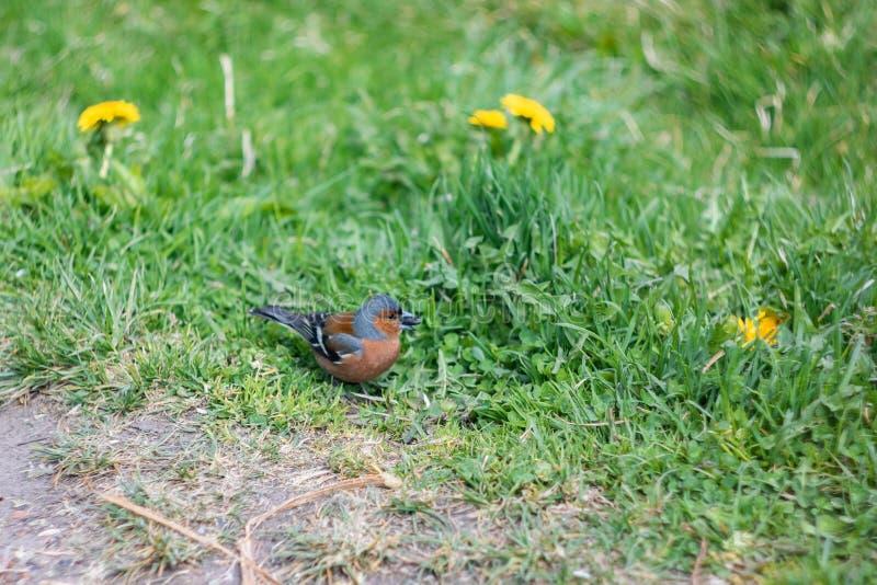 Немногое коричневая птица с семенем в своем клюве стоковые фотографии rf
