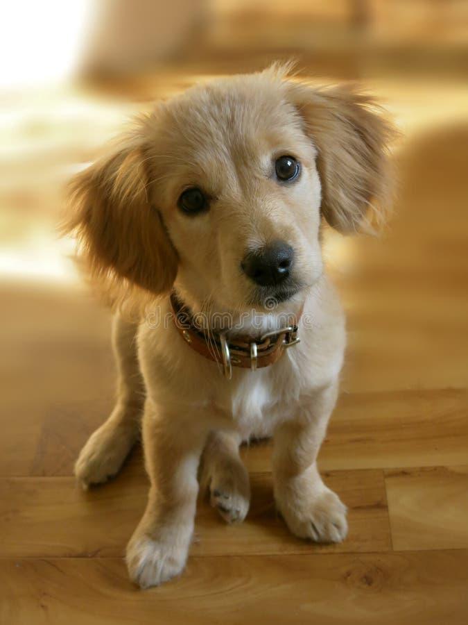 Немногое красный щенок с большими глазами и ушами стоковое изображение