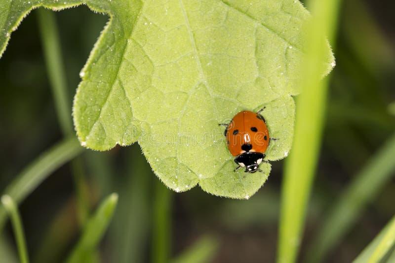 Немногое красный ladybird с черными точками сидя на больших зеленых лист, стоковые фотографии rf