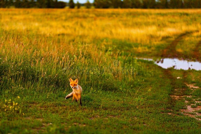 Немногое лиса Молодой Fox в траве на проселочной дороге E стоковое фото