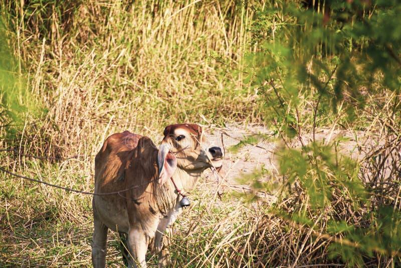 Немногое молодое положение буйвола в грязи около его матери Буйвол все еще известный в сельской местности стоковое фото rf