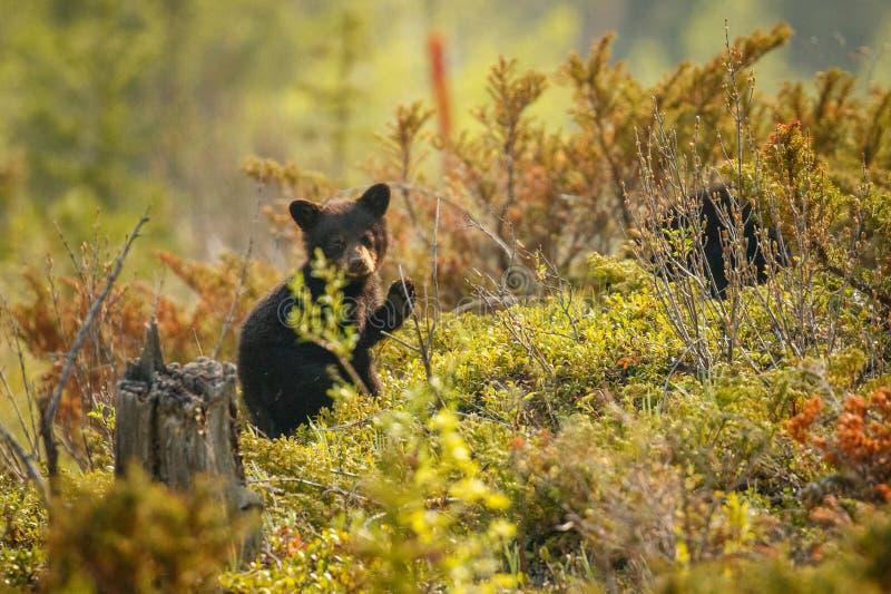 Немногое новичок черного медведя открывая мир вокруг в канадских скалистых горах стоковые изображения rf