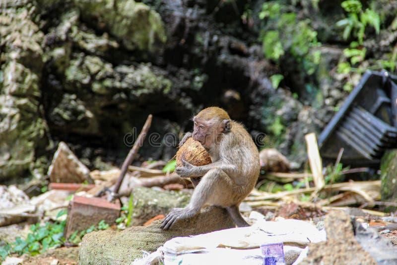 Немногое обезьяна есть кокос в индусском виске, Индию стоковые фото