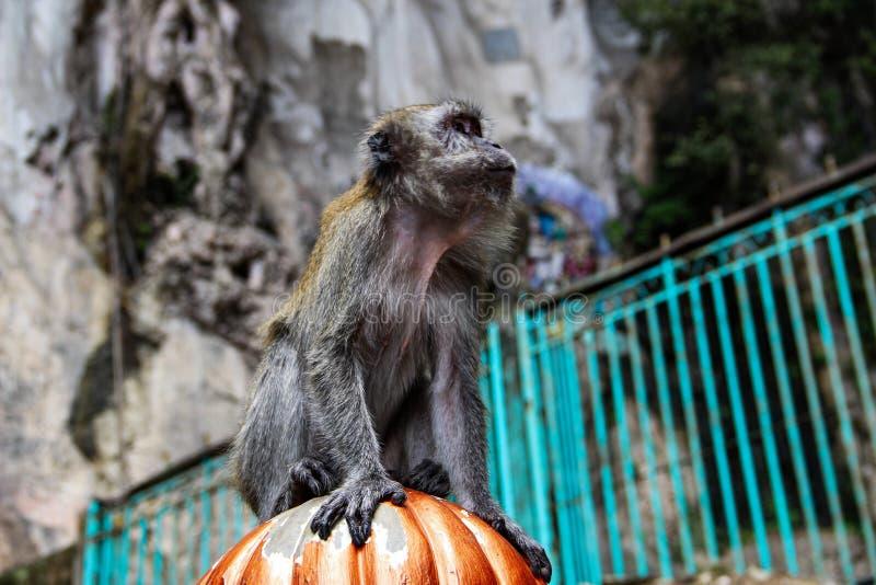 Немногое обезьяна есть кокос в индусском виске, Индию стоковое изображение rf