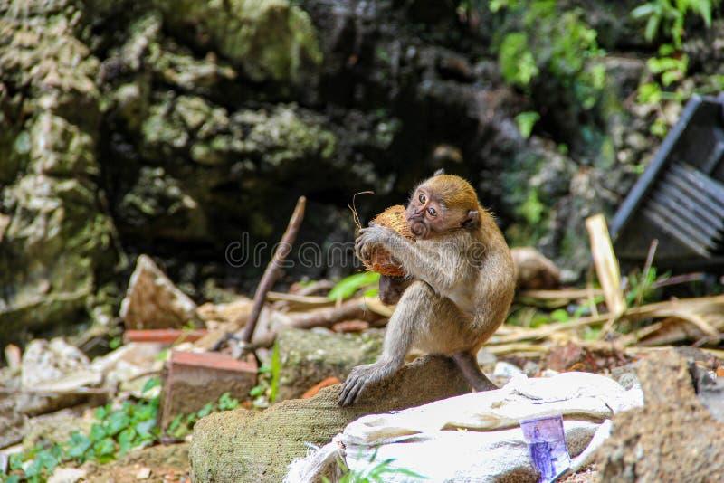 Немногое обезьяна есть кокос в индусском виске, Индию стоковые изображения
