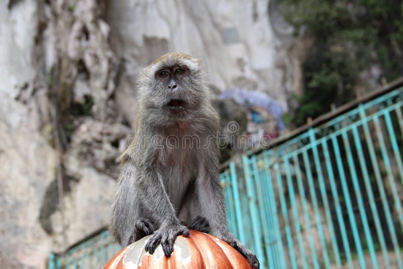 Немногое обезьяна есть кокос в индусском виске, Индию стоковое изображение
