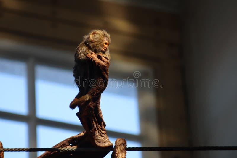 Немногое обезьяна стоковое фото rf