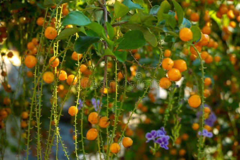 Немногое оранжевые ягоды duranta с солнечностью на запачканной предпосылке стоковая фотография rf