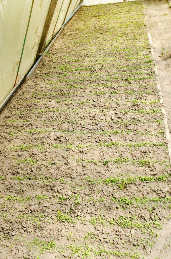 Немногое саженцы баклажана растя в парнике Растя органические овощи farming r Aubergine семян E стоковые изображения
