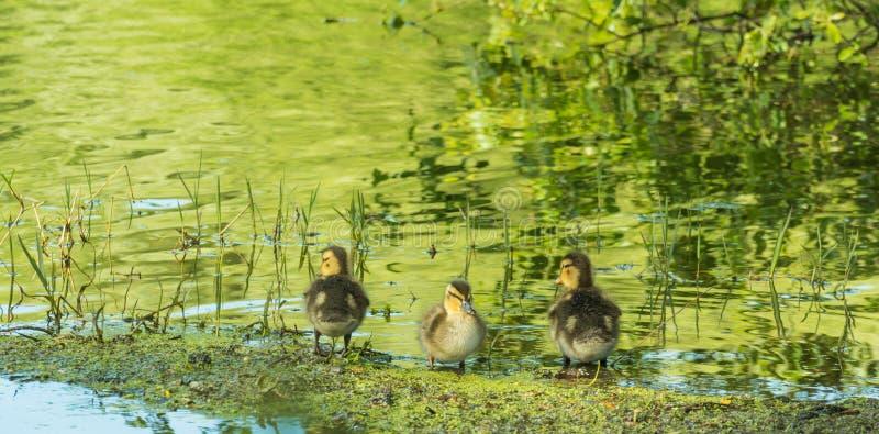 Немногое утки в береге озера стоковые фотографии rf