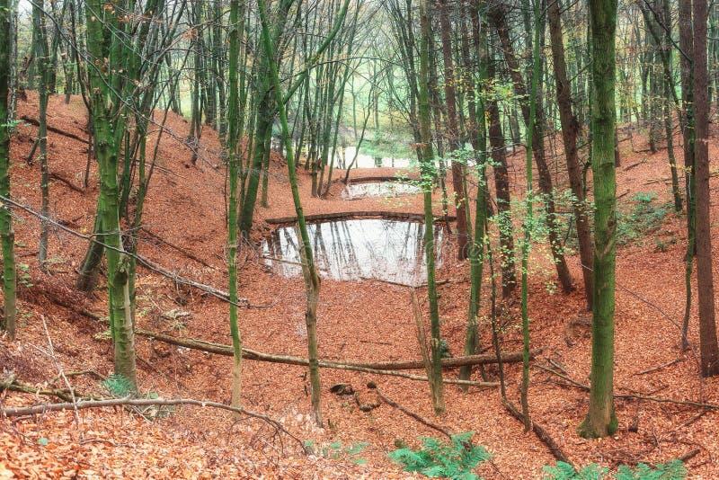 Немногое фены леса в голландском лесе покрытом с красочным и стоковое фото
