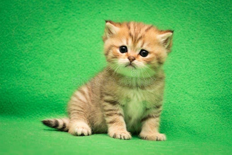 Немногое цвет tabby великобританского кота золотой стоковое изображение rf