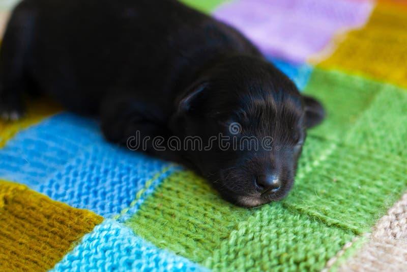 Немногое черный щенок спать на покрывале стоковые изображения