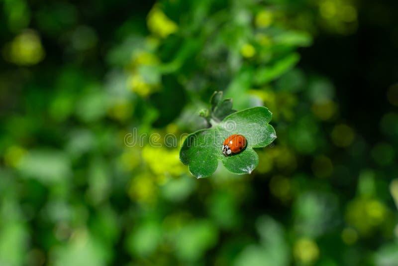 Немногое ladybug сидя на зеленых лист в саде стоковые изображения