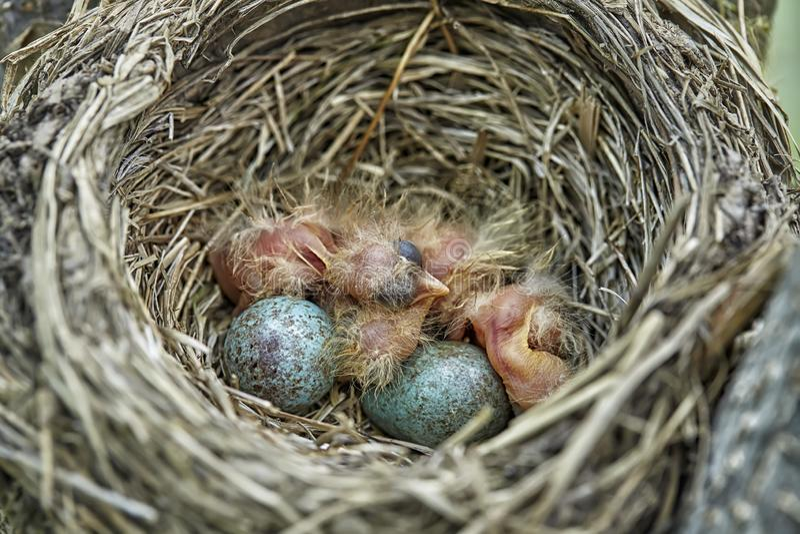 Немногое newborn птица младенца Turdus Philomelos молочницы песни стоковые изображения