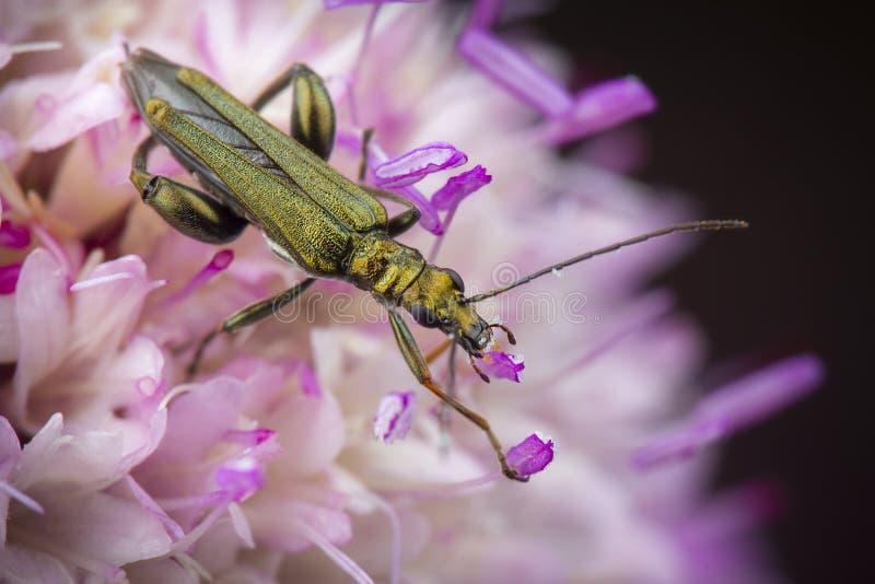 Немногое nobilis oedemera есть цветень стоковая фотография rf