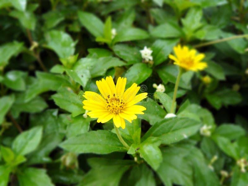 Немного засоритель желтого цветка Сингапура dailsy стоковые изображения rf