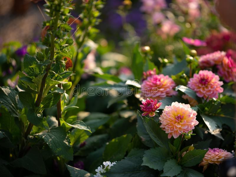 Немного розовых георгинов в кусте стоковое фото rf
