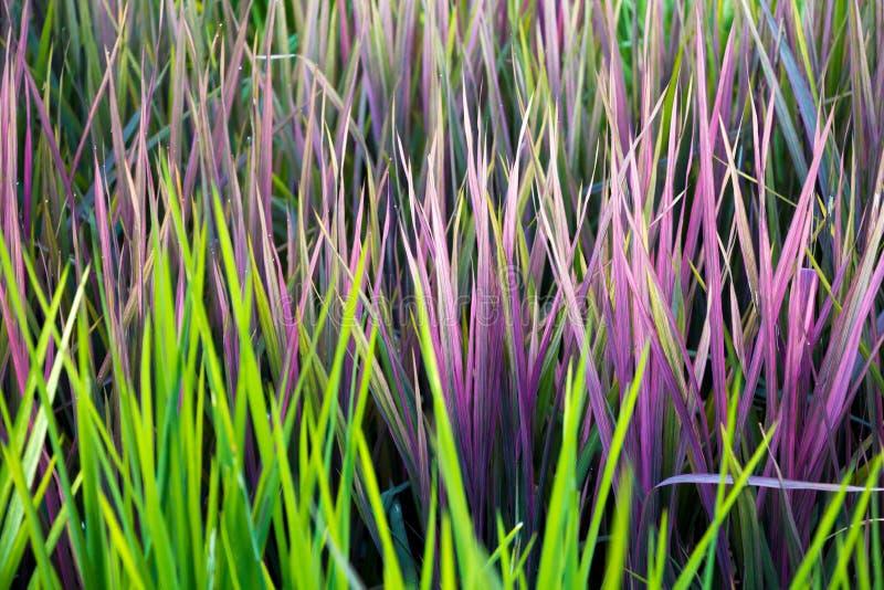 Необыкновенная картина зеленого цвета пинка лист риса стоковое изображение rf