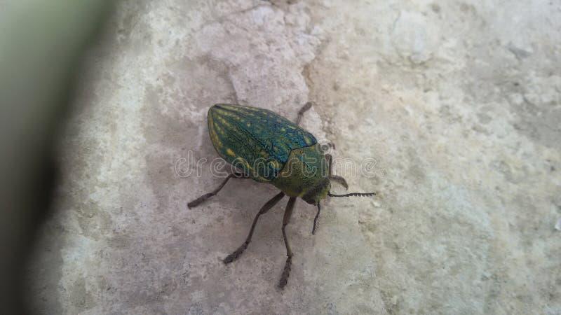 Необыкновенное зеленое насекомое на утесе стоковые фотографии rf