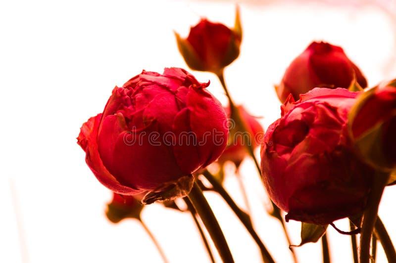 необыкновенные розы пиона стоковые изображения rf