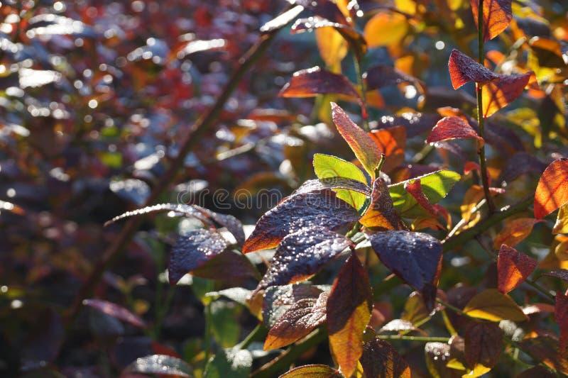 Необыкновенные цвета голубики осени выходят в заходящее солнце стоковая фотография rf