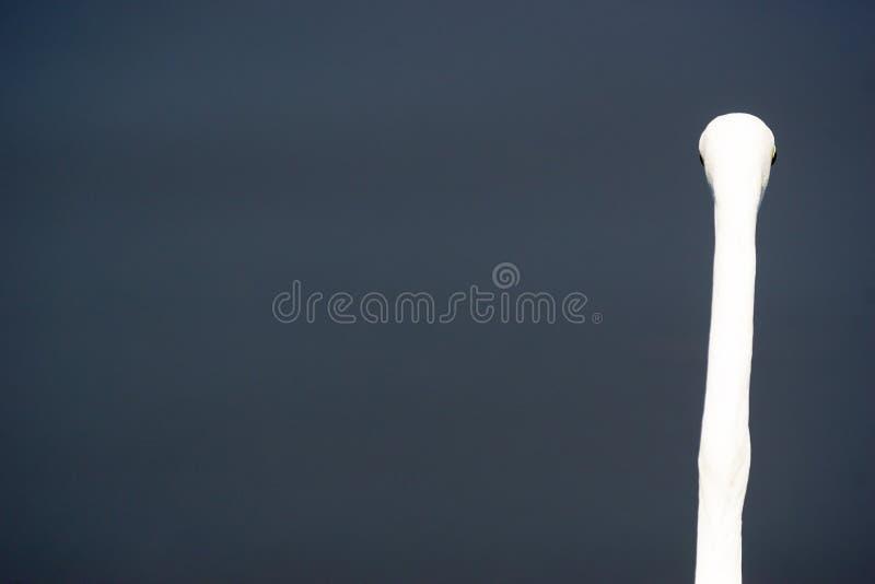 Необыкновенный взгляд большого белого egret стоковые фотографии rf