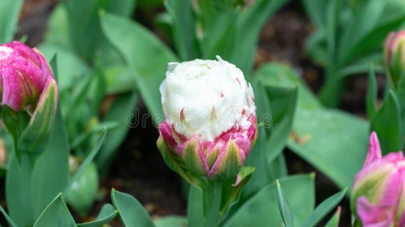 Необыкновенный двойной зацветенный тюльпан пинка и белых мороженого стоковое фото rf