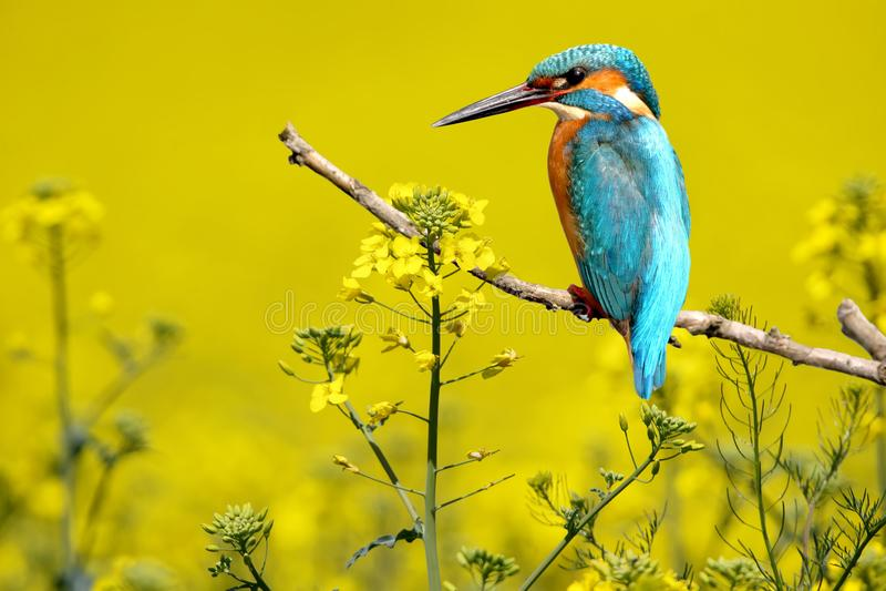 Необыкновенный и экзотический коллаж kingfisher стоковая фотография rf