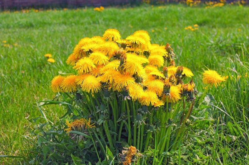 Необычно большой кустарник с желтыми солнечными одуванчиками на предпосылке зеленой травы стоковые изображения rf