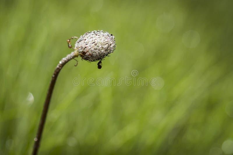 Неоткрытый бутон цветка на поле весны стоковые изображения rf