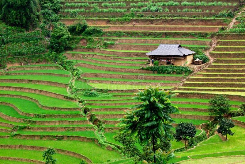 неочищенные рисы Вьетнам поля стоковые фото